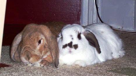 Bonded rabbits