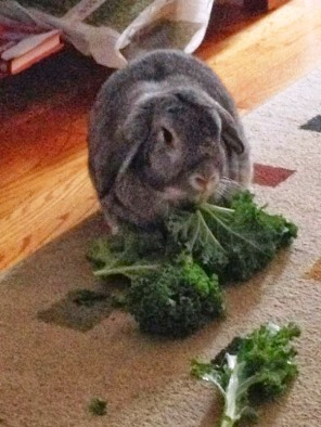 Wilbur eating Kale