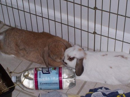 Frozen water bottle for hot rabbits